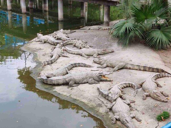 крокодиловый парк - достопримечательности гуанчжоу