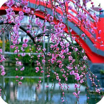 Цветение сливы в Токио фото 1