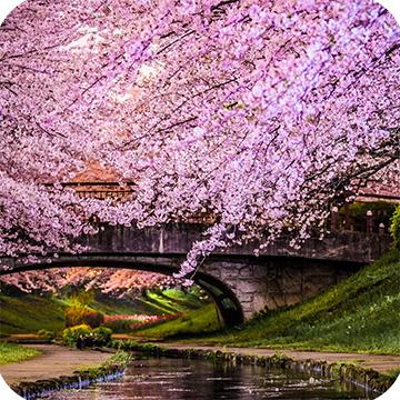 Цветение сакуры в Йокогаме фото 1