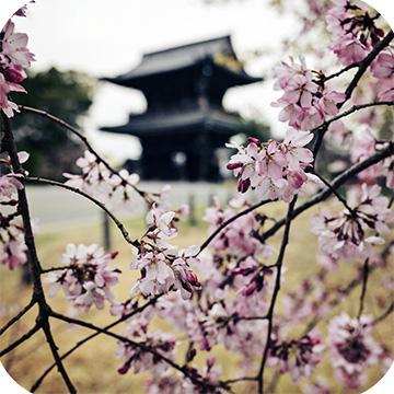 Сакура в Киото фото 1