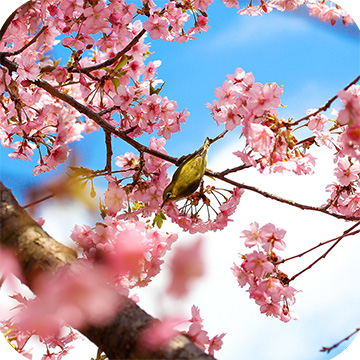 Цветение сакуры в Японии