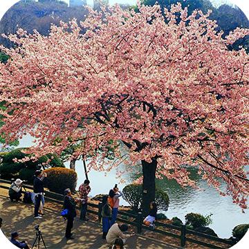 Сакура в парке Синдзюку-гёэн фото 1